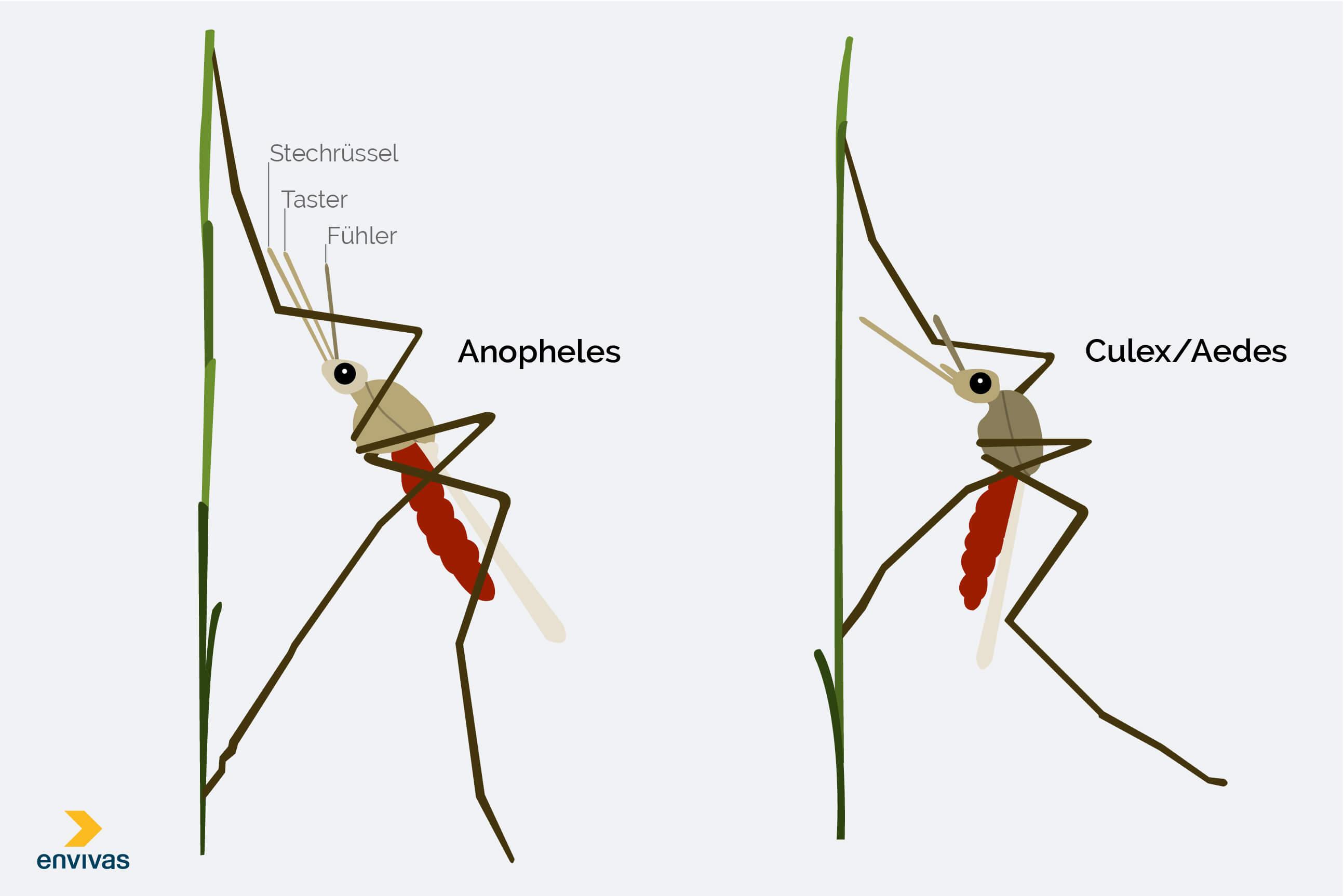 Anopheles-Mücken erkennen - Grafische Darstellung