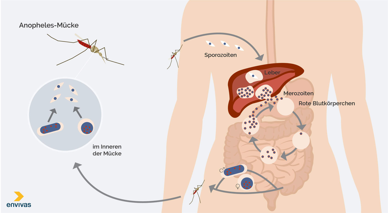 Malaria-Übertragung durch Parasiten und Anopheles-Mücke auf den Menschen - Grafische Darstellung