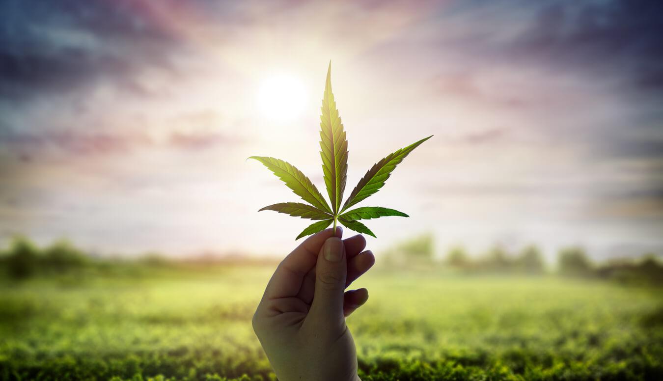 cannabispflanze-in-der-sonne